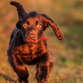 Daisy by Nick Jackson - Animals - Dogs Puppies ( cute puppy, spaniel, cocker spaniel, puppy )