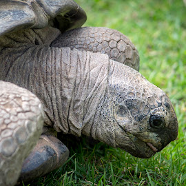 Giant Tortoise in the grass by Matt Simner - Animals Reptiles ( melbourne zoo, giant tortoise, reptile )