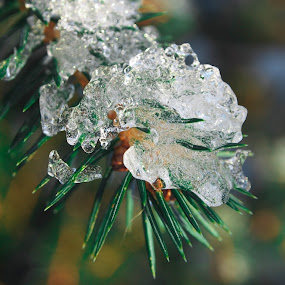 Ice on trees by Ólafur Ingi Ólafsson - Nature Up Close Leaves & Grasses ( cold, tree, ice, green, frost,  )