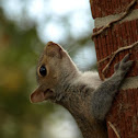 Eastern North American Grey Squirrel