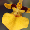 Knife-shaped oncidium