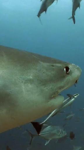 真正的鯊魚高清動態壁紙