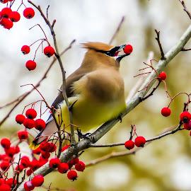 by Brooks Travis - Animals Birds ( up close, fruit, red, winter, nature, tree, deciduous, beak, mask, cedar waxwing, berries,  )
