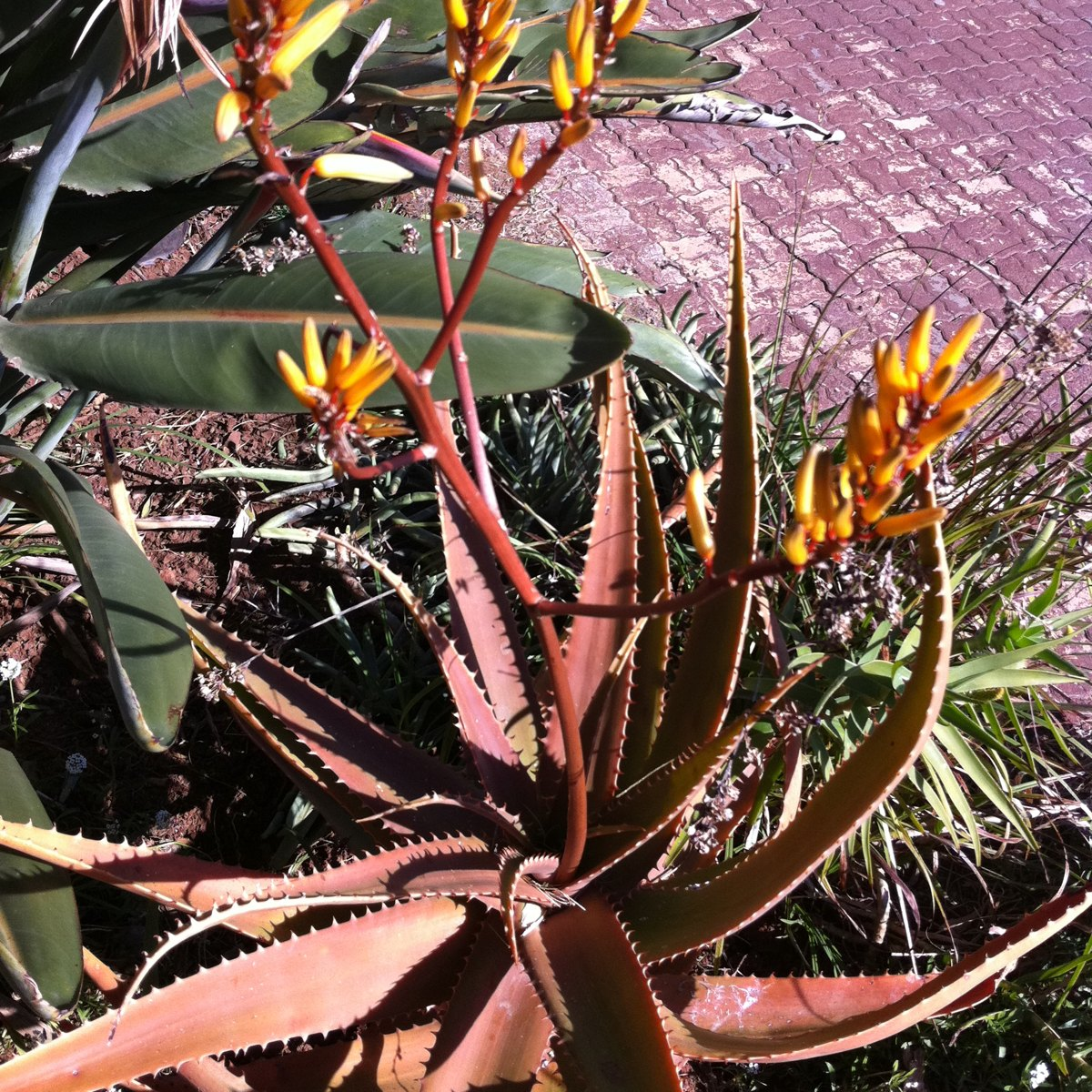Aloe bafana