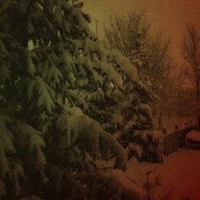 Backyard in Winter   by Nat Bolfan-Stosic - Nature Up Close Gardens & Produce ( winter, snow, backyard, pine, morning )