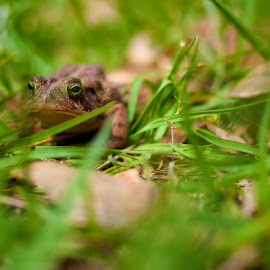 Toad In The Grass by John Smith - Animals Amphibians ( frog, grass, toad, om-d )
