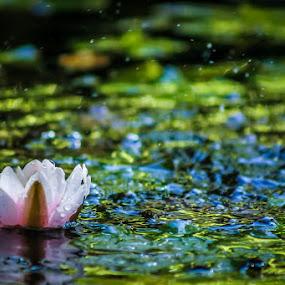 Ninfea by Massimiliano Benvenuti - Nature Up Close Flowers - 2011-2013