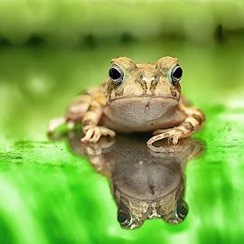 African frog by Mohamed Mahdy - Animals Amphibians ( botswana, animals, nature, frog, safari, nikon d5200, africa, frogs, nikon, amphibians, egypt )