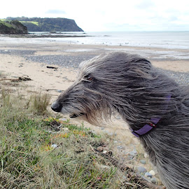 On the beach. by Esther Van De Belt - Animals - Dogs Portraits ( tasmania, fossil bluff, beach, dog, greay,  )