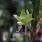 Dichaea trulla Orchid