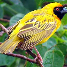 Weaver by Amanda Coertze - Animals Birds ( weaver, yellow,  )