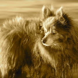 Tizzy in Sepia by Michelle Bergeson - Animals - Dogs Portraits ( water, animals, sepia, pet, dog,  )