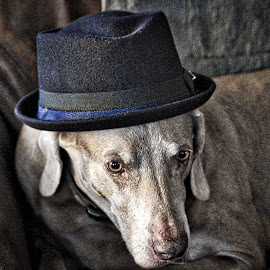 make me an offer I can't refuse! by Jim Antonicello - Animals - Dogs Portraits ( pet, hazel, dog, pork pie hat )