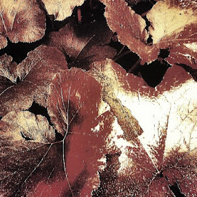 Dark Red Shiny Leaves by Nat Bolfan-Stosic - Nature Up Close Other plants ( plant, red, dark, leaves, garden, fall, color, colorful, nature )