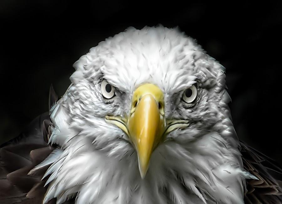 Stare Down by Linda Karlin - Animals Birds (  )