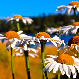 The Groupies by Jordan M Newington - Novices Only Flowers & Plants ( oregon, florence, daisies, beauiful, flowers )