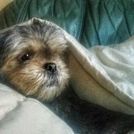 Comfort  by Stephen Lodge - Instagram & Mobile Other ( hdr, nokia, dog, lhasa apso, coat )