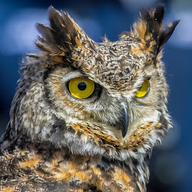 Long Eared Owl 1  by Dan Copeland - Animals Birds ( horned owl,  )