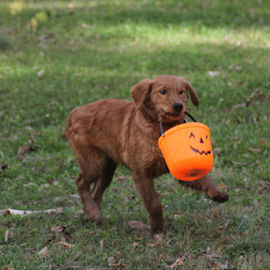 Treat or Treat by Ellee Neilands - Animals - Dogs Puppies ( canine, play, puppy, dog, cute, halloween, golden retriever )