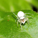 White Jumping Spider