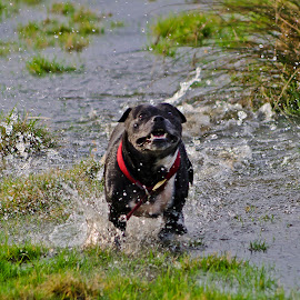 The Jezebel by Steve Birbeck - Animals - Dogs Running ( water, animals, dogs, floods, running, fields )
