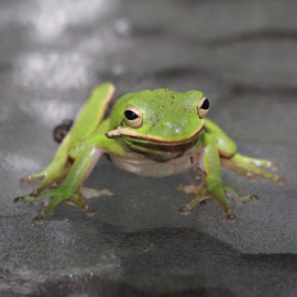 Greetings by Lynn Morley - Animals Amphibians ( frog, green, treefrog, wet, smile )