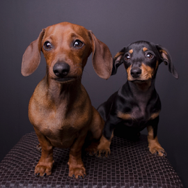 Daxies by Wendy Van Zyl - Animals - Dogs Portraits ( puppies, cute puppy, black dachshund, dachshund, portrait of puppies, brown dachshund. )
