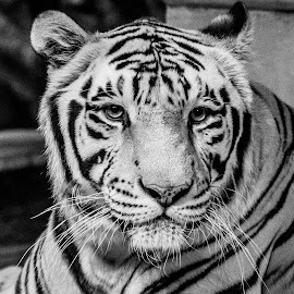 The Portrait by Narayanan Mangalath - Animals Lions, Tigers & Big Cats ( tiger, tiger portrait, tiger b&w )