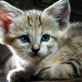 Kitten by Renos Hadjikyriacou - Animals - Cats Kittens ( cats, animals,  )