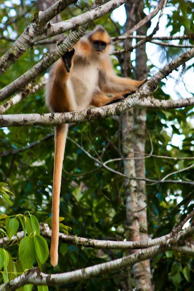 sumatran surili mitered leaf monkey project noah - Coloration Hnn