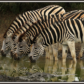 Friends at the waterhole by Romano Volker - Animals Other
