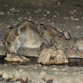 Lioness and Cubs by Charel Schreuder - Animals Lions, Tigers & Big Cats ( photo sales, lioness, south africa, nossob, cubs, googlephotographer, kgalagadi transfrontier park, lion cubs, kalahari, charel schreuder, waterhole )