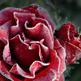 Frozen Rose by Kirsten Morse - Nature Up Close Flowers ( rose, macro, red, frost, flower )