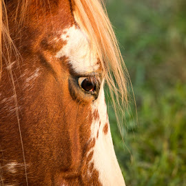 Eye of the Golden Hour by Darin Mellor - Animals Horses ( iowa, animals, horses, 2014, farms, wildlife, fall 2014 )