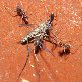 RIP mosquito!! by Mainak Bhadra - Novices Only Macro