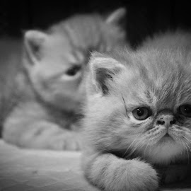 || Sister and brother by Ahmad Cahyanto - Animals - Cats Kittens ( playing, cats, kitten, baby peaknose, peaknose )