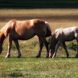 Cavalli al pascolo by Maria Cristina Mazzella - Animals Horses ( cavalli, horses, green, pascolo, verde )