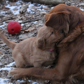 Grandmothers Love by Ellee Neilands - Animals - Dogs Puppies ( love, canine, family, pet, puppy, cute, dog, golden retriever,  )