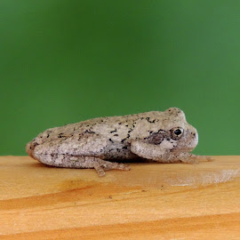 Toad by Sangeetha Selvaraj - Animals Amphibians ( toad, amphibians, animal,  )