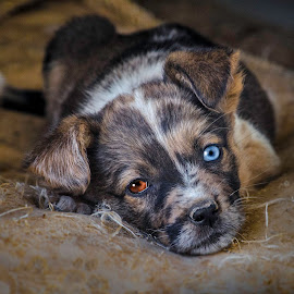 by John Gross - Animals - Dogs Portraits ( cute puppy, dog rescue, dog portrait, multicolored, eyes )