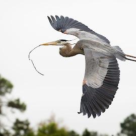 Nesting GBH by Troy Wheatley - Animals Fish ( bird, flying, nesting, heron, bird photography, bird in flight )