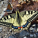Old World Swallowtail/Common Yellow Swallowtail