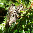 Kite-tailed Robberfly (couple)