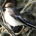 European Pied Flycatcher , Papamoscas cerrojillo