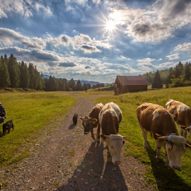 Cows going back home by Stanislav Horacek - Landscapes Prairies, Meadows & Fields