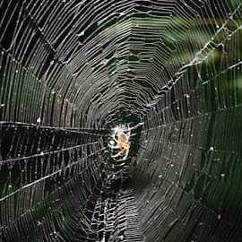 spider web by Debbi Young - Nature Up Close Webs ( spider, web, spring )