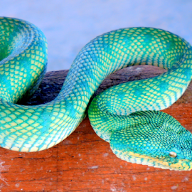 Pit Viper by Yusop Sulaiman - Animals Reptiles (  )