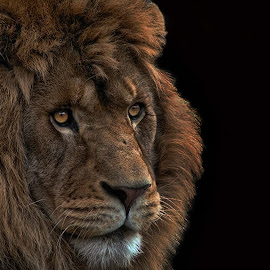 Lion by Tony Austin - Animals Lions, Tigers & Big Cats ( lion, face, cat, roar, feline, animal, eyes )