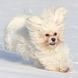 On the ice by Mia Ikonen - Animals - Dogs Running ( havanese, action, finland, fun, cute )