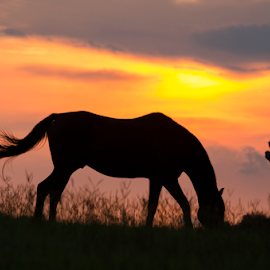 untitled by David Ubach - Animals Horses ( farm, animals, pasture, silhouette, sunset, horse )